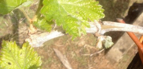 From grape to glass: Budding and Foliation